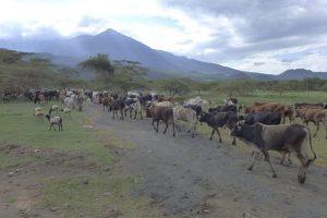 afrika, nairobi, kenia, silicon savannah, landwirtschaft, rinderherde